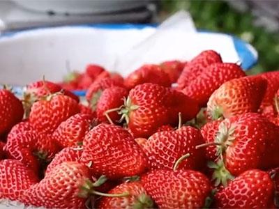 草莓专用膜